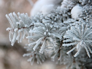 rime, Frost, spruce