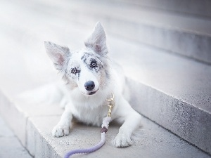 Stairs, Border Collie, Leash