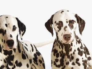 Dalmatians, Two cars