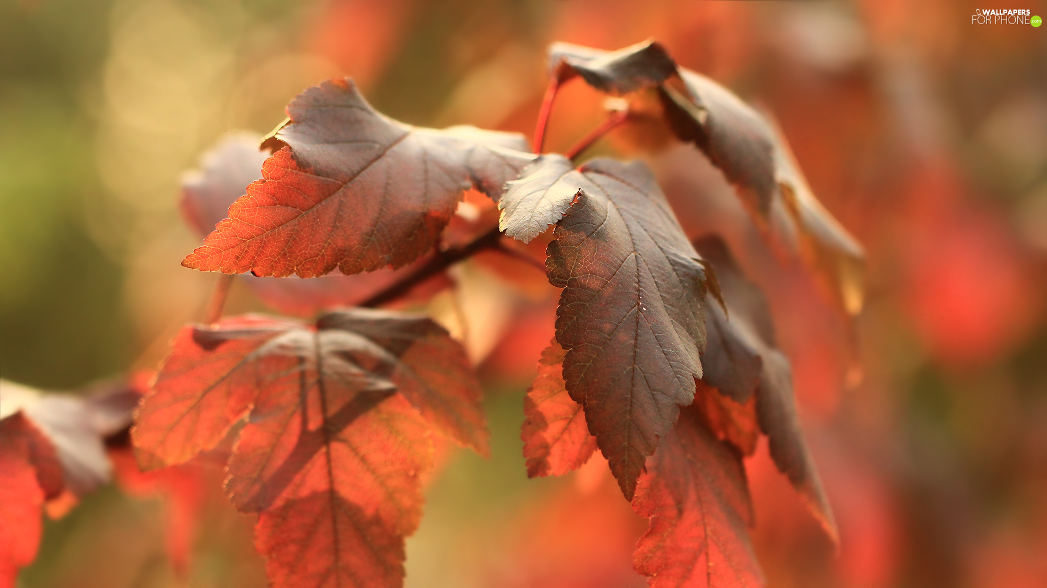 Red, Leaf, Autumn, red head