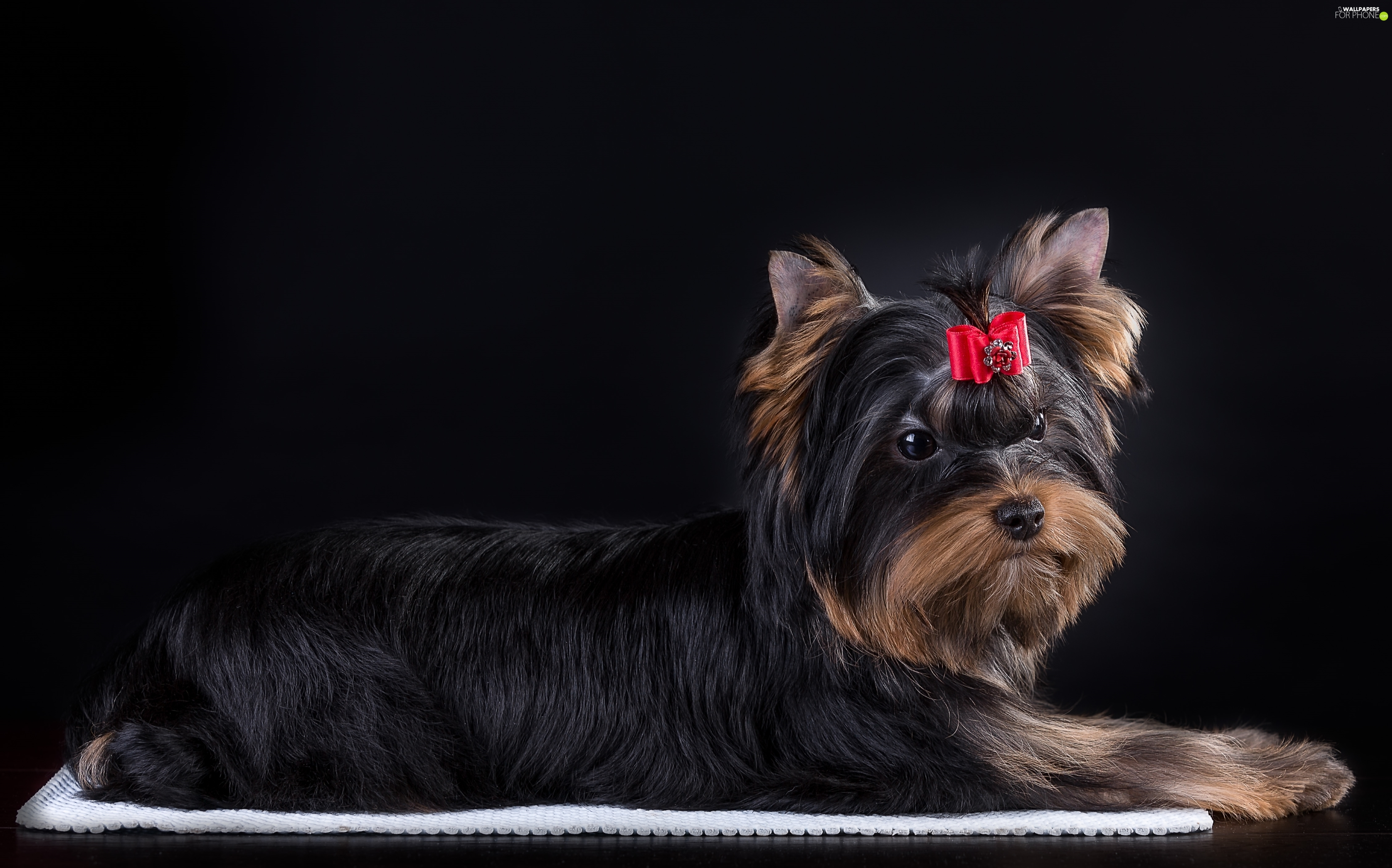 Yorkshire Terrier, Loop, dog
