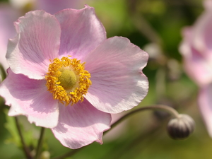 Japanese anemone, Colourfull Flowers, Pink