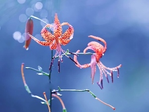 Tiger lily, Blue, background