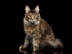 black background, cat, Maine Coon