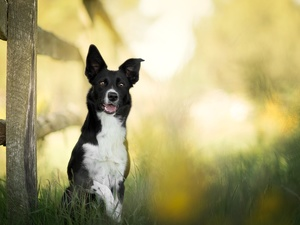 Fance, dog, fuzzy, background, grass, Border Collie