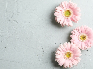 Bright, background, Pink, gerberas, Three