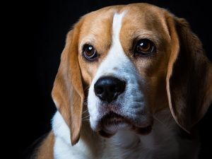 Beagle, sad, dog