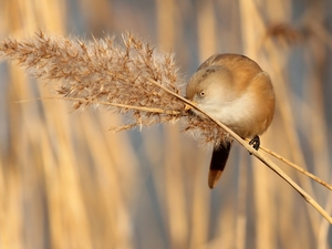 grass, Bird, Bearded Tit