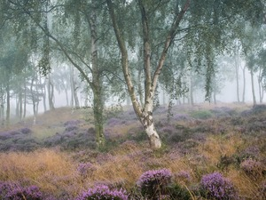 heath, heather, Fog, trees, birch, Peak District National Park, England, viewes