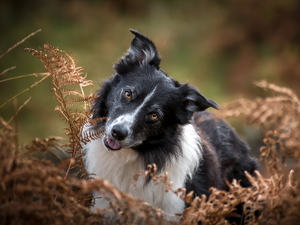 withered, fern, dog, Border Collie, White and Black