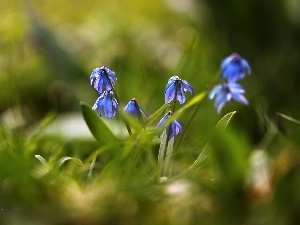 Flowers, Siberian squill, Blue