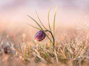 Colourfull Flowers, grass, blur, Fritillaria meleagris