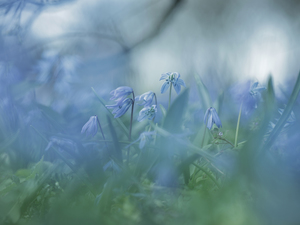 Siberian squill, Flowers, blurry background, Blue