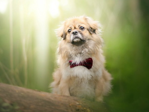 dog, red hot, bow tie, pekinese