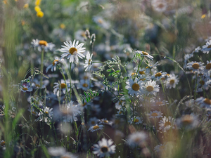 Flowers, grass, ##, camomiles