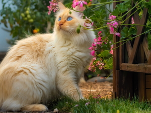 geraniums, Blue Eyed, cat