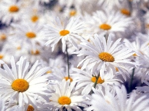 Flowers, chamomile