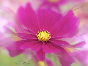 rods, Colourfull Flowers, blur, Cosmos, Pink, Yellow, Close