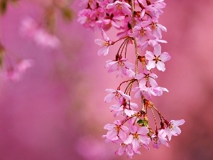 Close, Spring, branch, Flowers, cherry