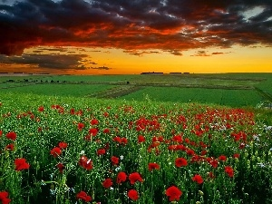 field, papavers, clouds, Red
