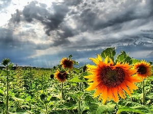 clouds, Field, sunflowers