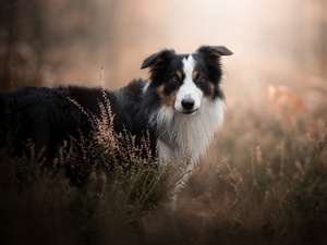 fuzzy, background, Border Collie, heathers, dog