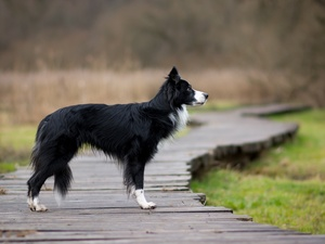 footbridge, dog, Border Collie