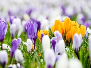 crocuses, color