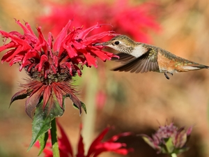Bird, Red, Colourfull Flowers, humming-bird