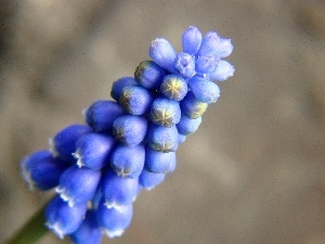 Muscari, spring, Colourfull Flowers
