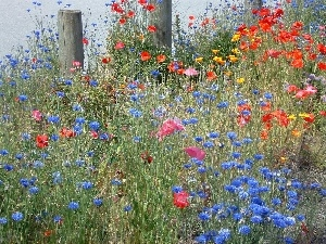 cornflowers, Meadow, papavers