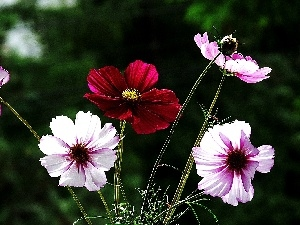 Cosmos, color, Flowers