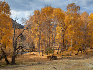 viewes, autumn, River, Cows, birch, trees