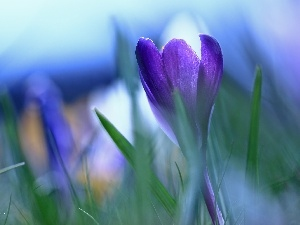 Colourfull Flowers, Violet, crocus
