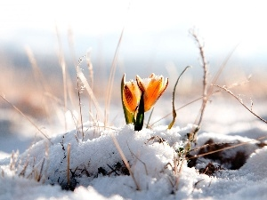 crocus, snow, Yellow