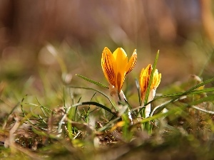 Yellow, crocuses