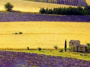 cultivation, Field, lavender