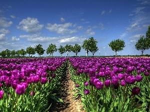 cultivation, Purple, Tulips