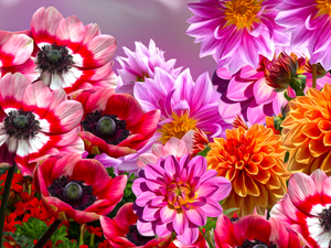 Flowers, Anemones, graphics, dahlias