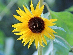 Sunflower, decorated