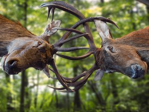 fighting, horns, forest, Deer