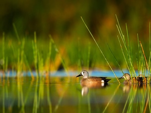 cane, ducks, Blue-winged Teal