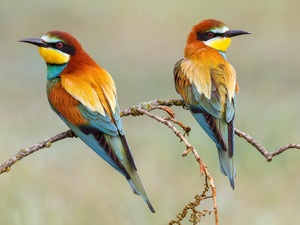 Two cars, Bee-eaters, Twigs, birds