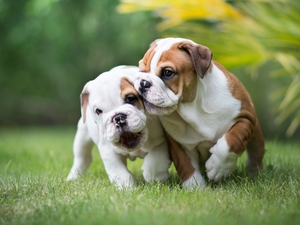 puppies, grass, Dogs, English Bulldogs, Two cars