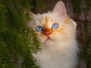 Blue, Eyes, cat, blue, White