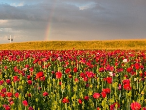 Great Rainbows, papavers, field