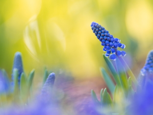 Yellow, background, Colourfull Flowers, Muscari, blue