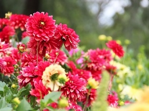 dahlias, Flowers
