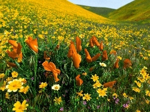 Meadow, Orange, Flowers, Yellow