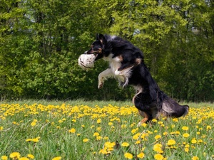Ball, dog, puffball, Flowers, Meadow, Border Collie